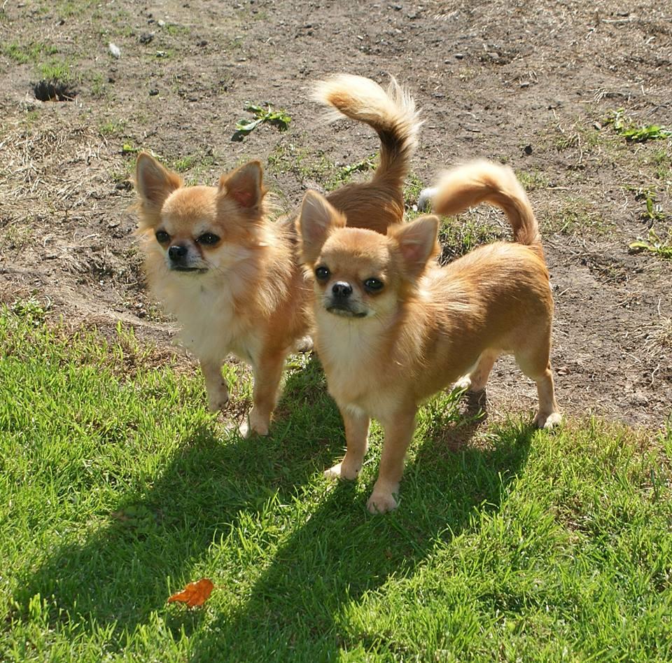 Bonito's Chihuahua Camilo & DreamsFollowMeCody